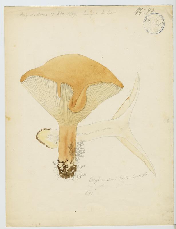 Clitocybe maxima ; champignon