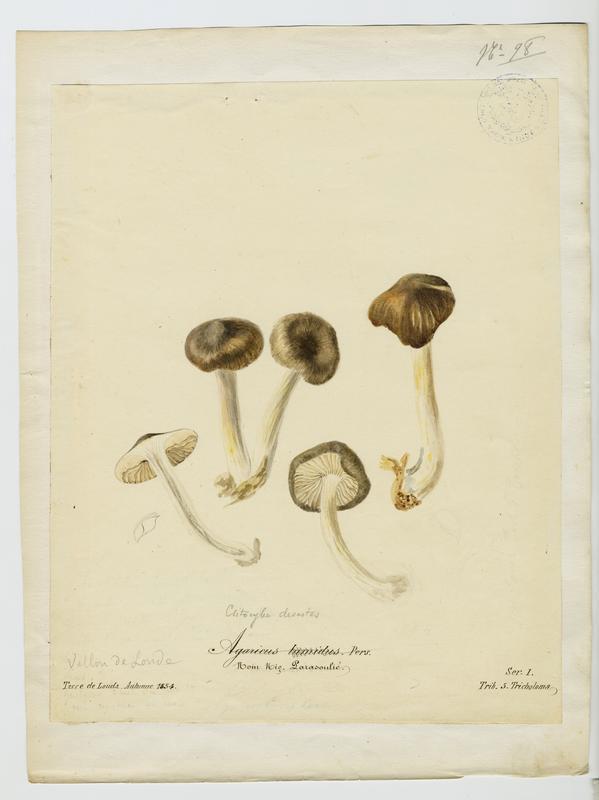 BARLA Jean-Baptiste (attribué à) : Agaric, Parasoulié, champignon