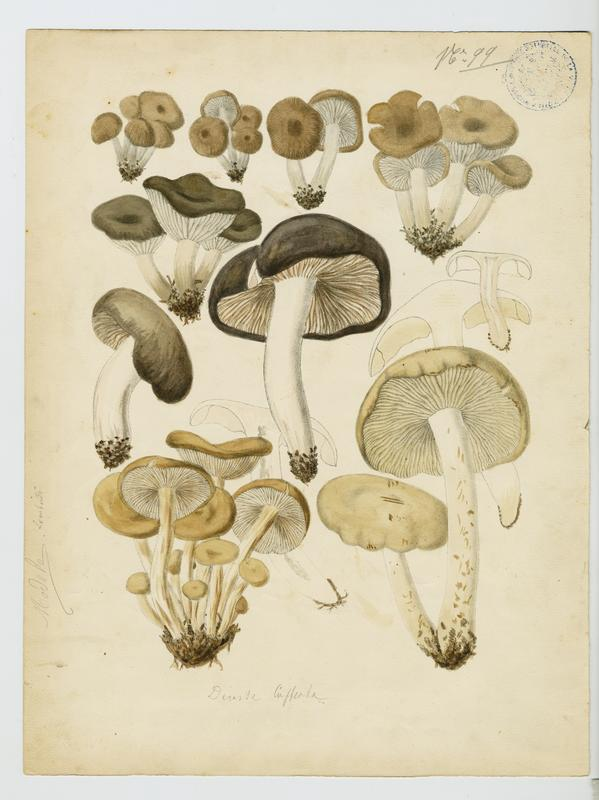LOMBARDI Charles : champignon