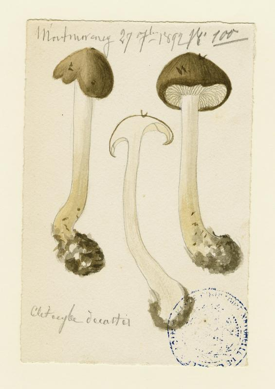Tricholome en touffes ; Lyophylle agrégé ; champignon_0