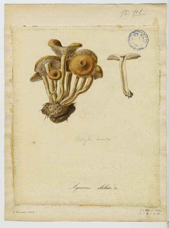 Omphaliaster ; champignon
