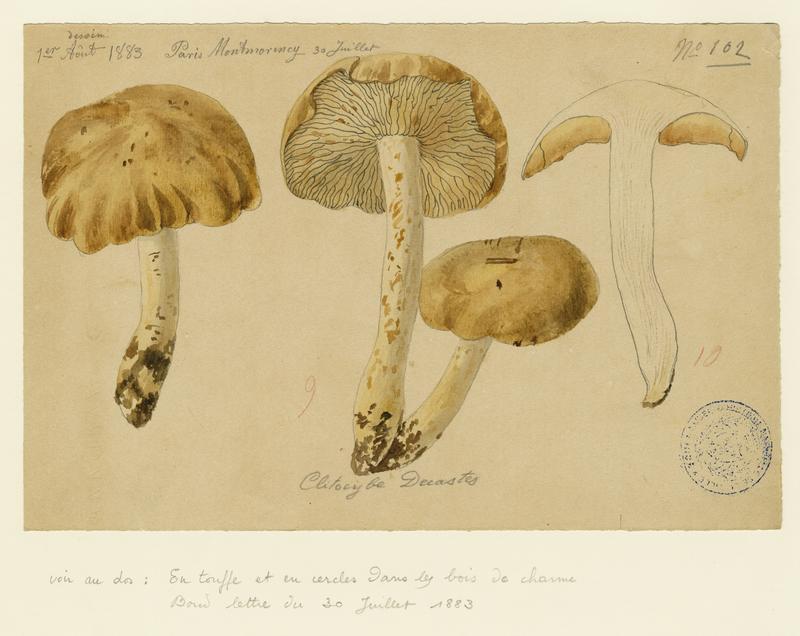 BARLA Jean-Baptiste (attribué à) : Tricholome en touffes, Lyophylle agrégé, champignon