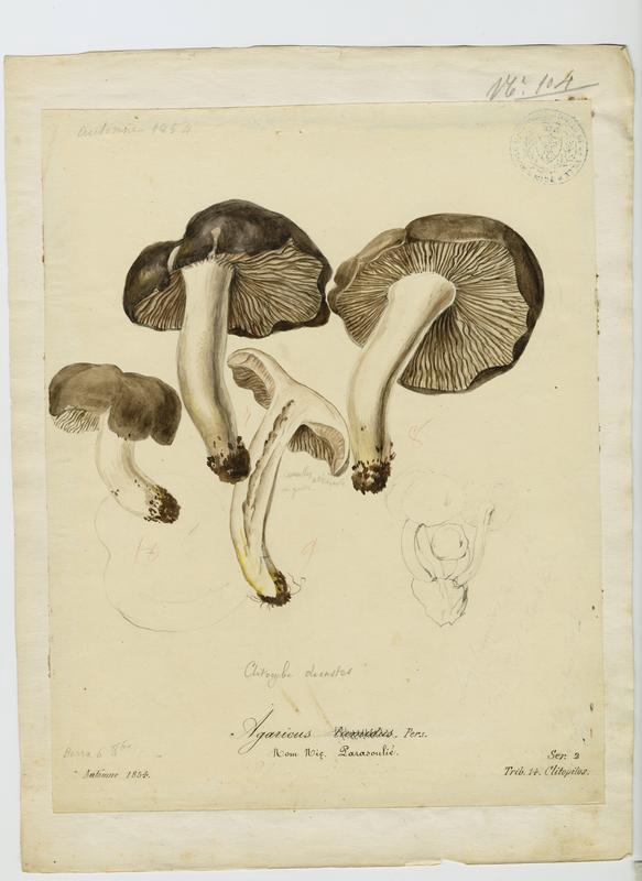 Agaric ; Parasoulié ; champignon_0