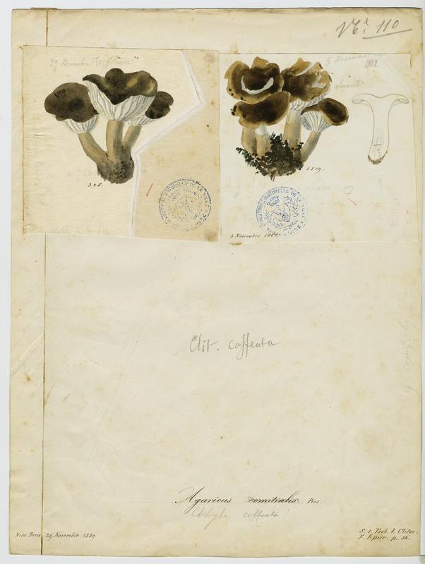 BARLA Jean-Baptiste (attribué à) : Cliticybe, champignon