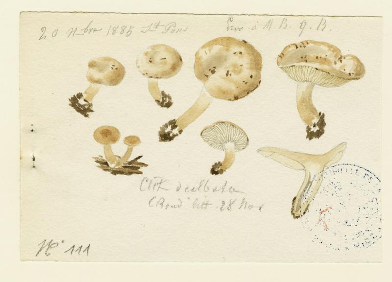 Clitocybe blanchi ; champignon_0