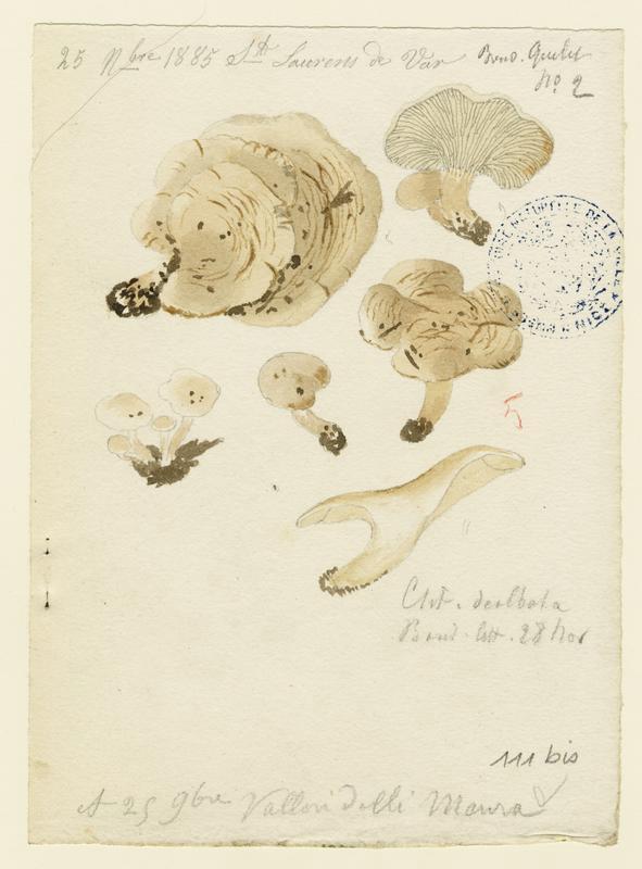 BARLA Jean-Baptiste (attribué à) : Clitocybe blanchi, champignon