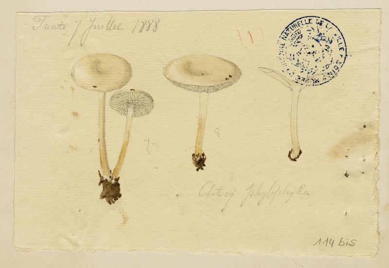 BARLA Jean-Baptiste (attribué à) : Clitocybe des feuilles, champignon