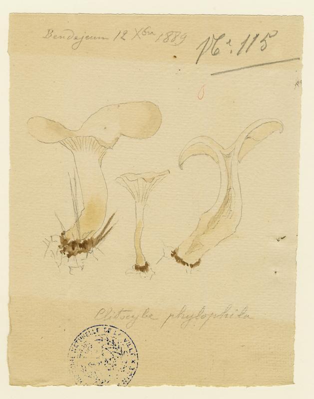Clitocybe des feuilles ; champignon_0