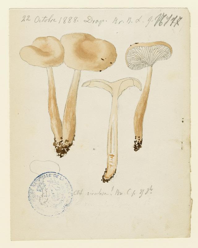 Clitocybe du bord des routes ; champignon