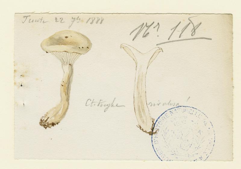 Clitocybe du bord des routes ; champignon_0