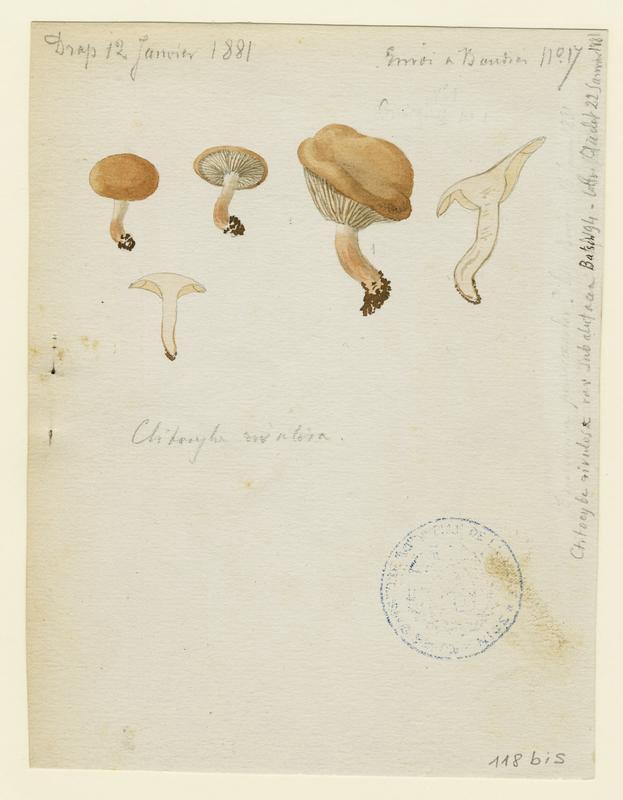 BARLA Jean-Baptiste (attribué à) : Clitocybe du bord des routes, champignon