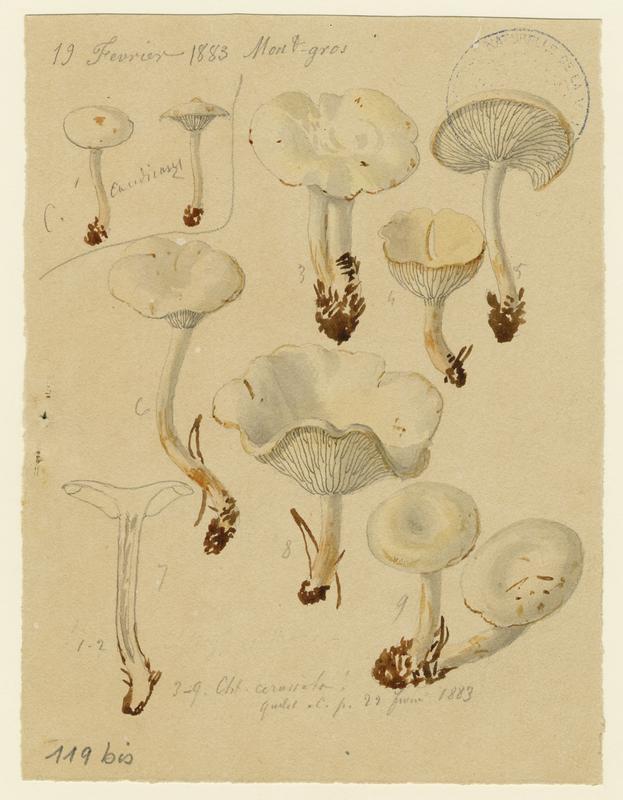 Clitocybe blanchissant ; champignon_0
