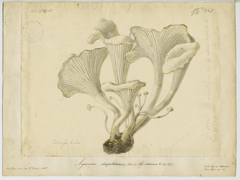 FOSSAT Vincent (aquarelliste, peintre) : Clitocybe en entonnoir, champignon