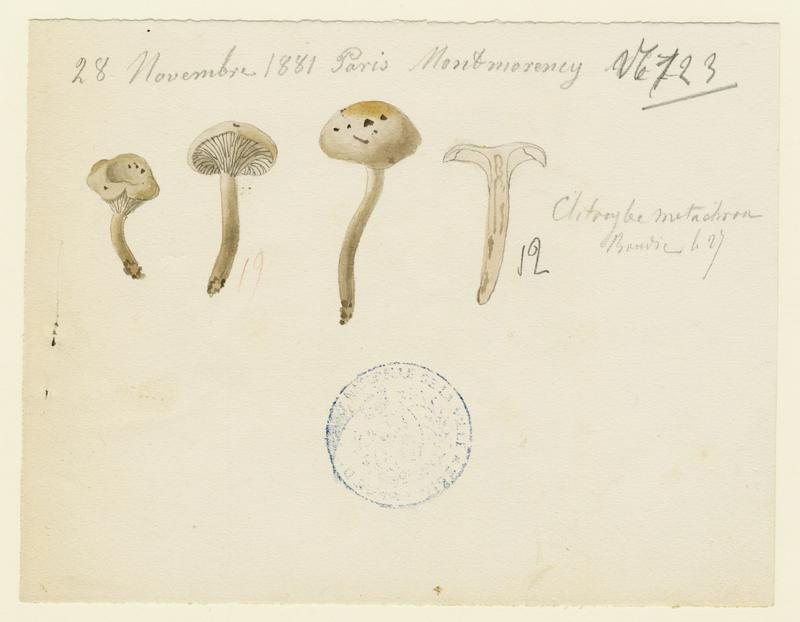 Clitocybe à centre brun ; champignon
