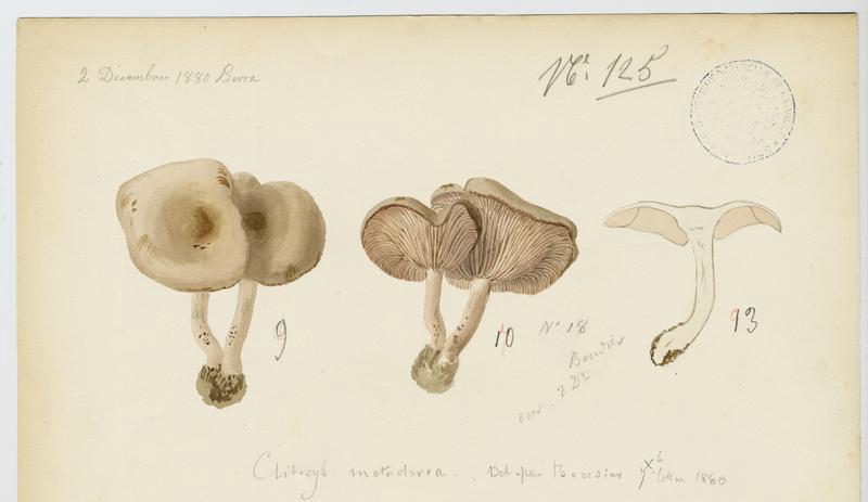 Clitocybe à centre brun ; champignon_0