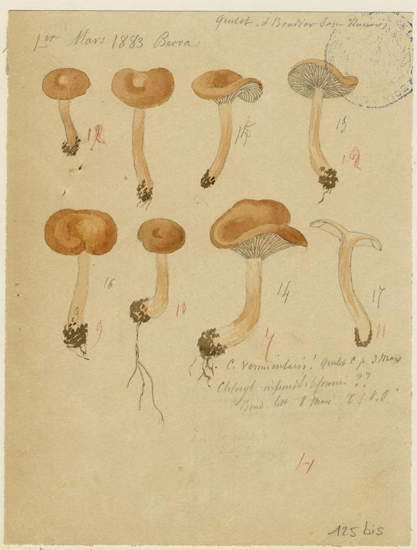 Clitocybe à rhizomorphes ; champignon_0