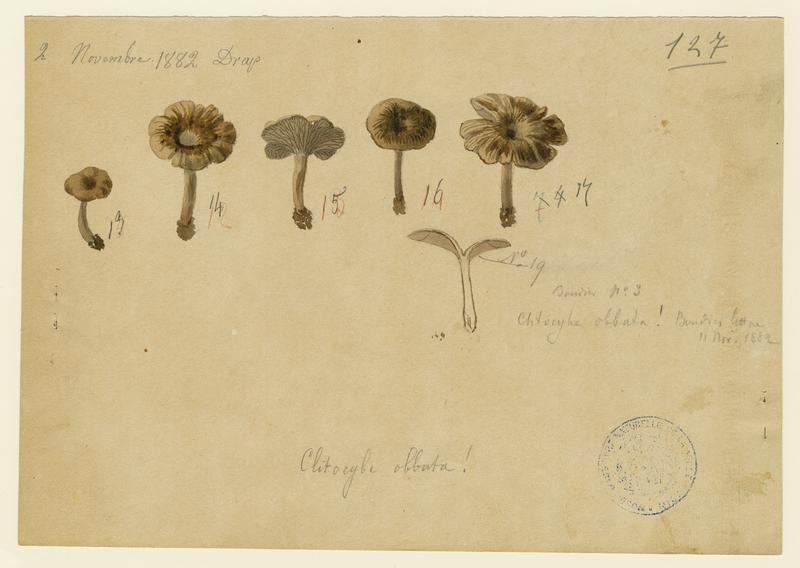 Clitocybe ; champignon_0