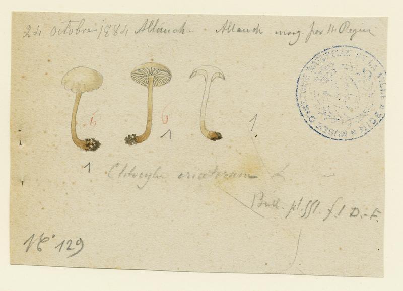 Omphale des bruyères ; champignon