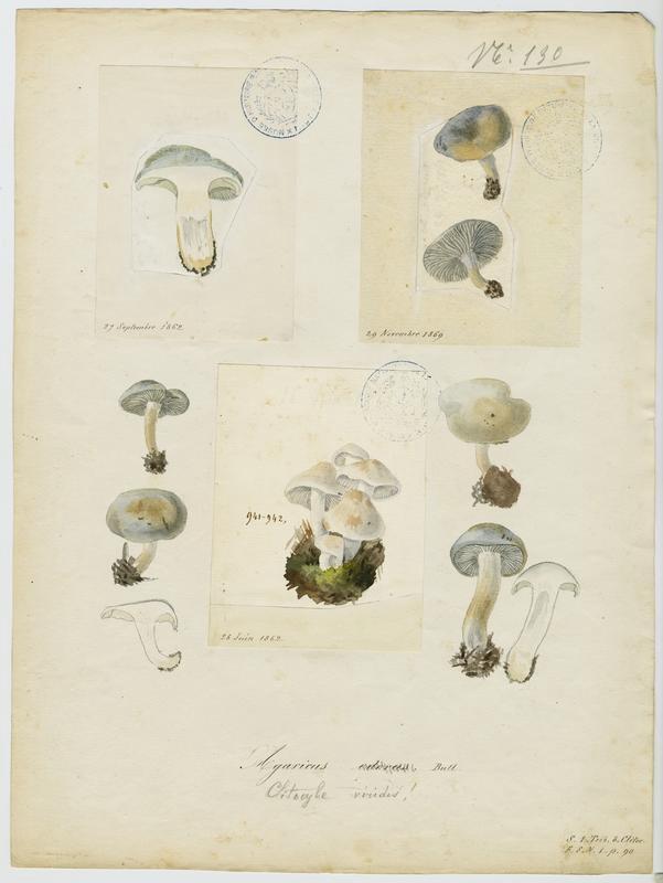 Clitocybe odorant ; champignon