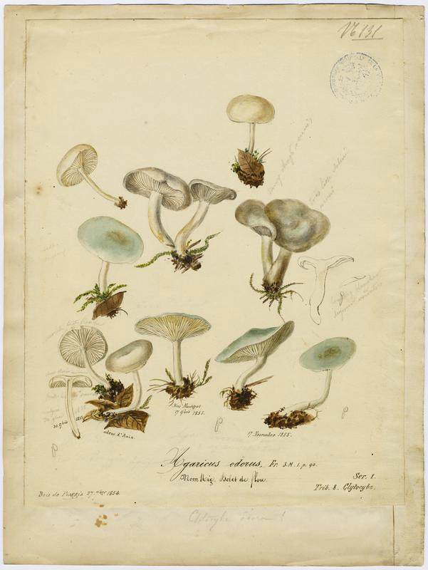 Agaric odorant ; Bolet de flou ; champignon_0