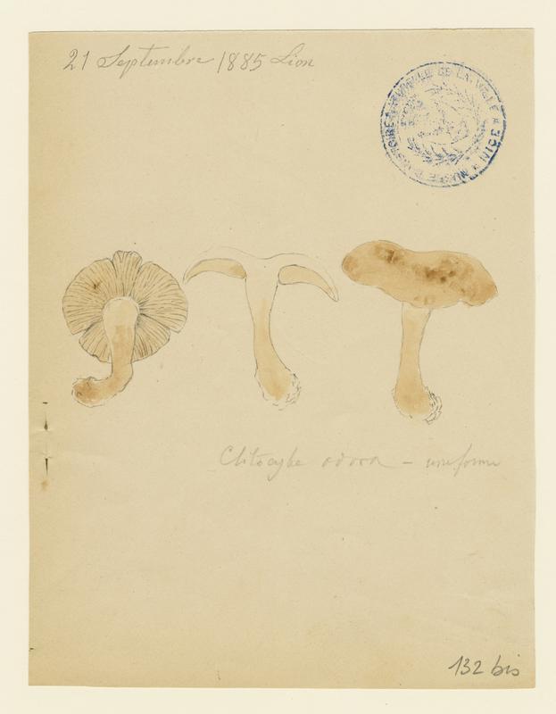Clitocybe odorant ; champignon_0