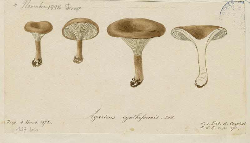 Clitocybe en coupe ; champignon_0