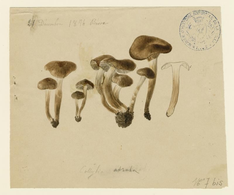 Collybie ; champignon_0