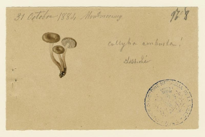 BARLA Jean-Baptiste (attribué à) : Collybie, champignon