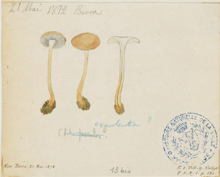 Collybie des cônes d'épicéa ; champignon_0