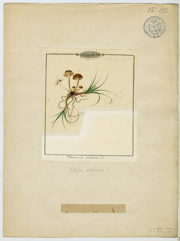 Flammule baveuse ; champignon