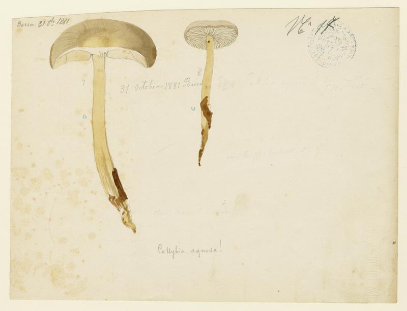 BARLA Jean-Baptiste (attribué à) : Collybie aqueuse, champignon