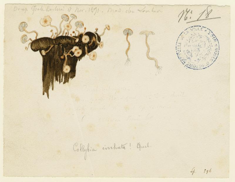 Collybie mycophage ; champignon_0