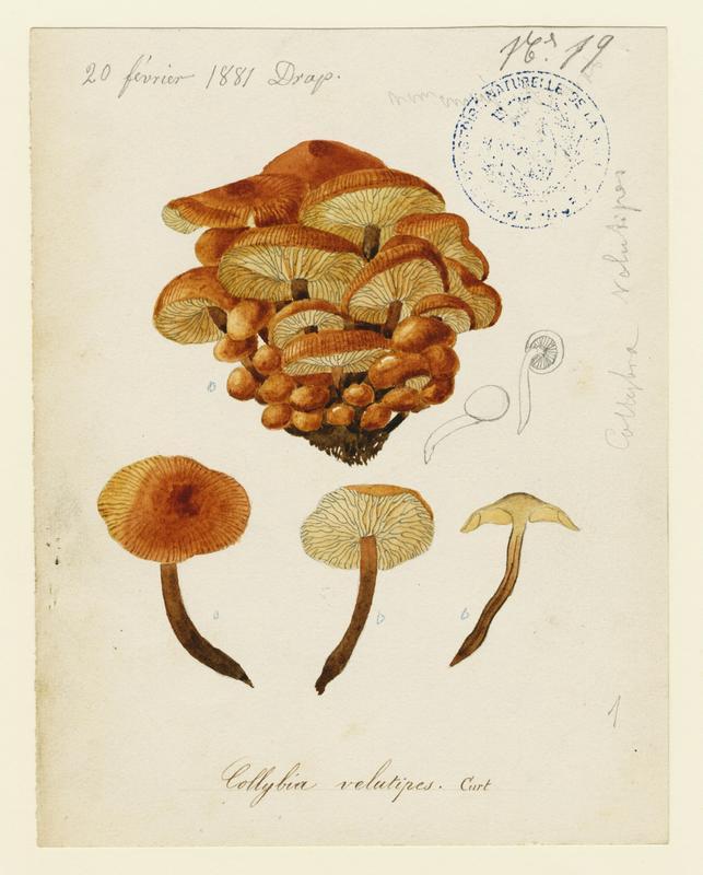 Collybie à pied velouté ; champignon_0