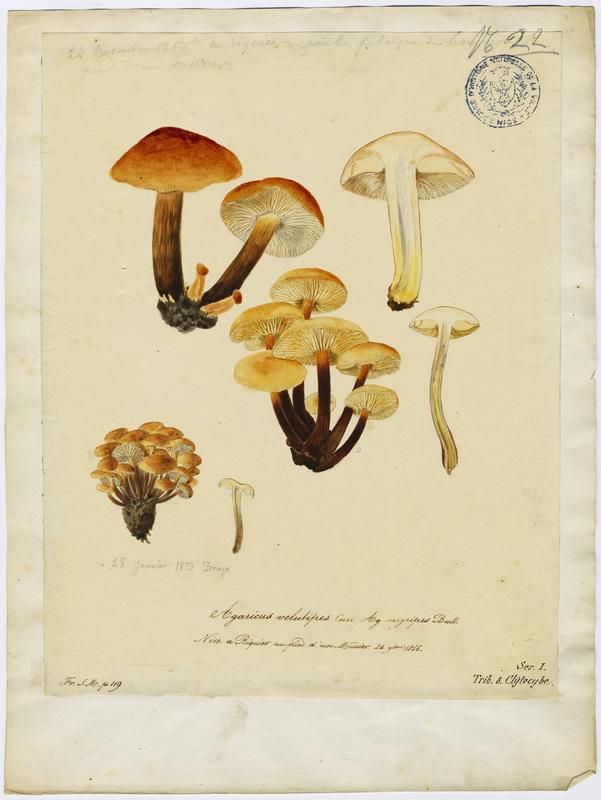 BARLA Jean-Baptiste (attribué à) : Collybie à pied velouté, champignon