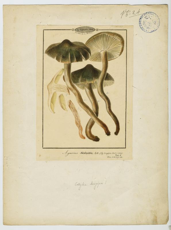 BARLA Jean-Baptiste (attribué à) : Collybie à poils ras, champignon