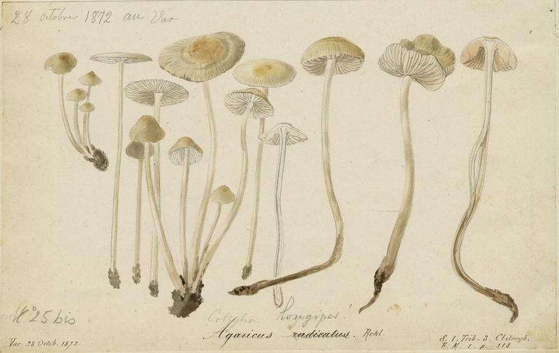 Collybie radicante ; champignon_0