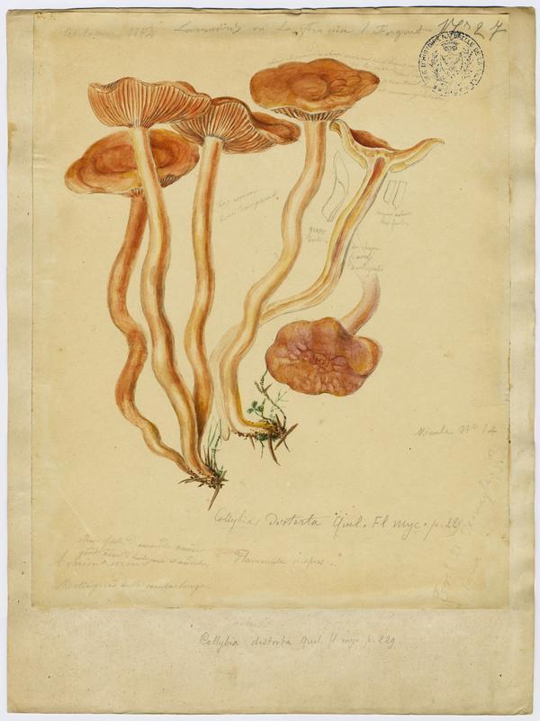 Collybie à pied tordu ; champignon_0