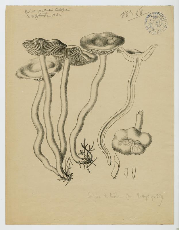 Collybie à pied tordu ; champignon