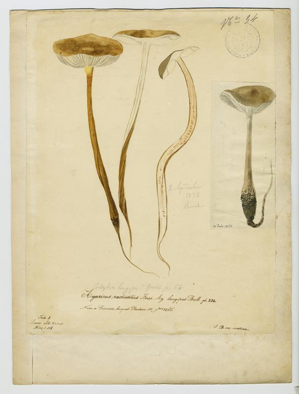 Collybie à poils ras ; champignon_0