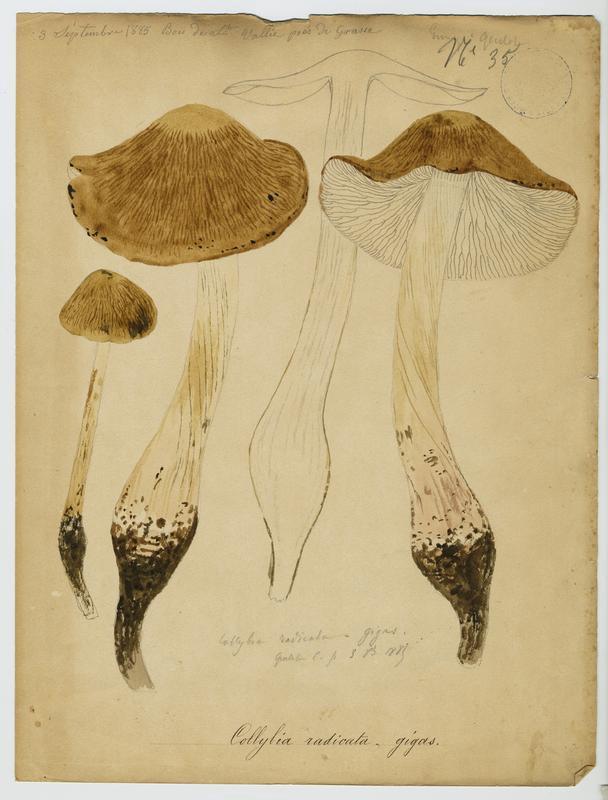 BARLA Jean-Baptiste (attribué à) : Collybie , champignon