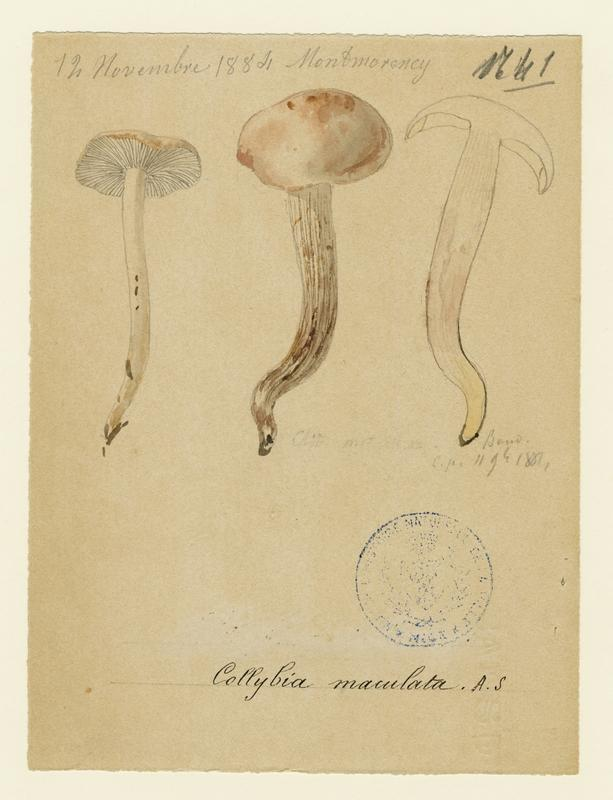 Collybie maculée ; champignon