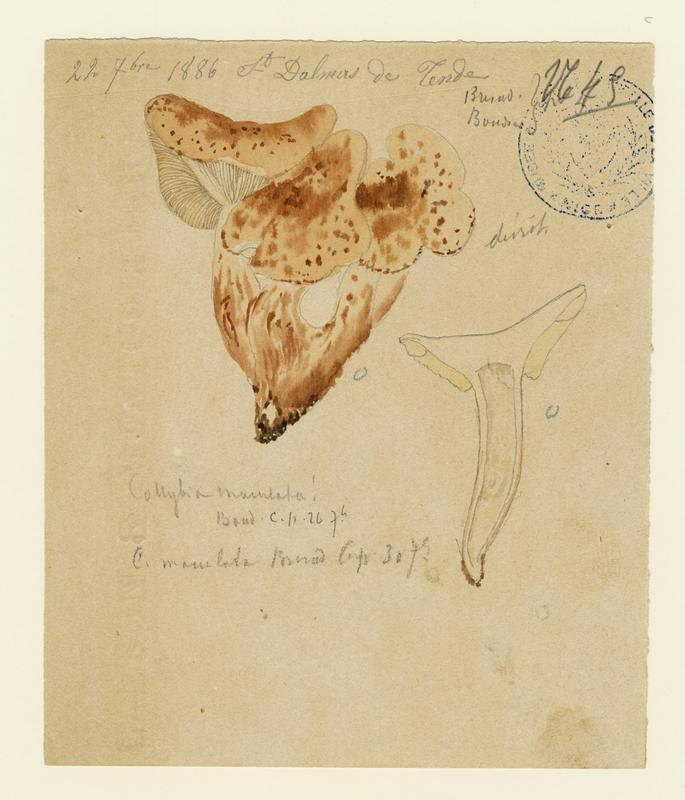 BARLA Jean-Baptiste (attribué à) : Collybie maculée, champignon