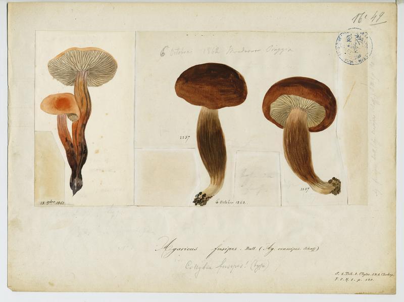 Collybie à pied en fuseau ; champignon