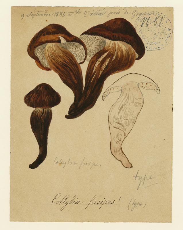 Collybie à pied en fuseau ; champignon_0