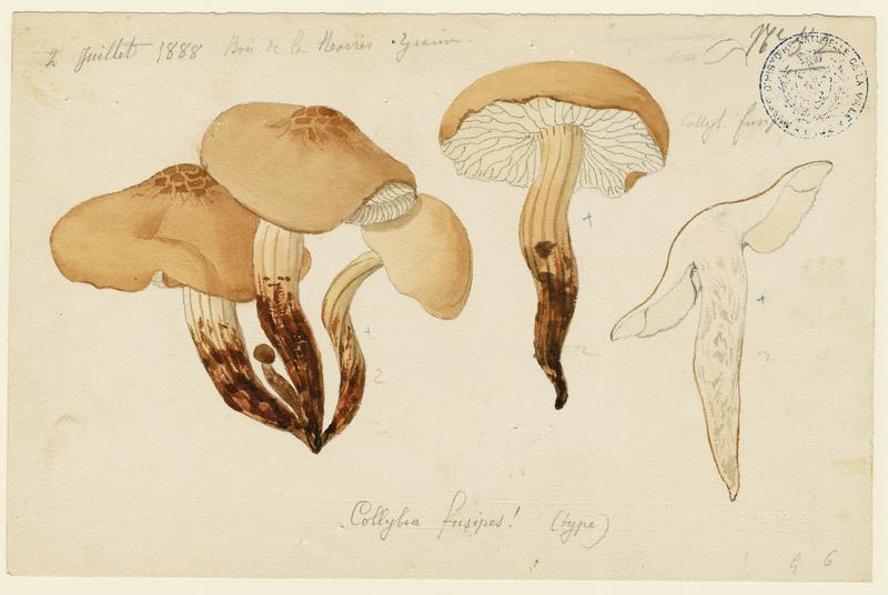 BARLA Jean-Baptiste (attribué à) : Collybie à pied en fuseau, champignon