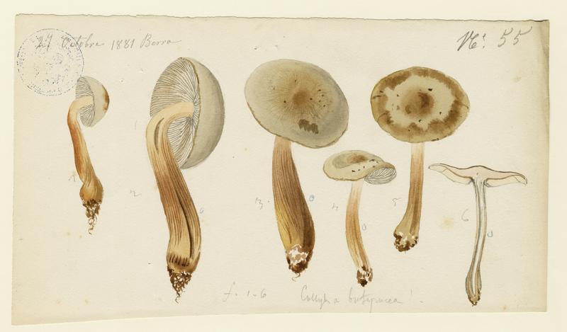Collybie beurrée ; champignon_0