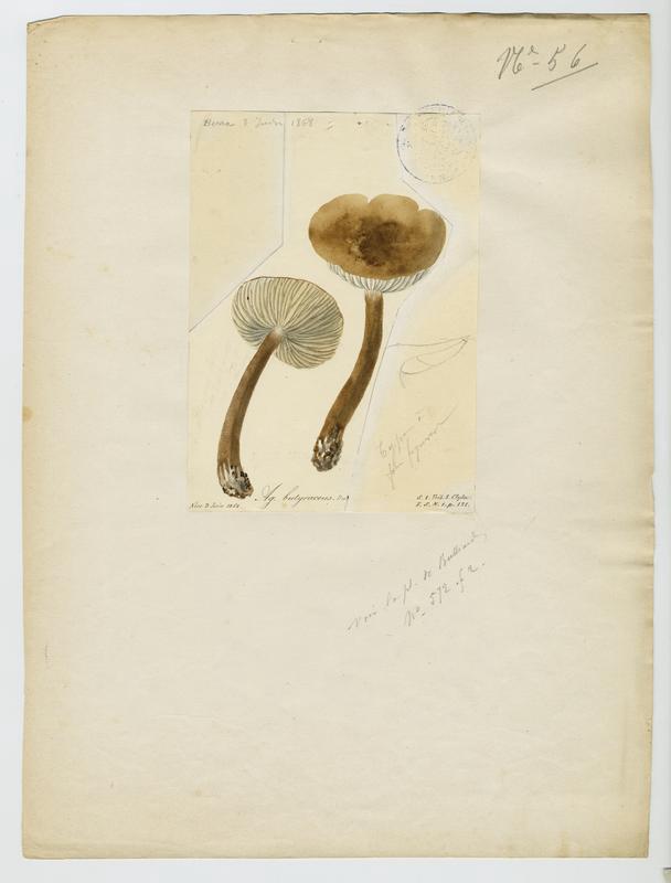 Collybie beurrée ; champignon