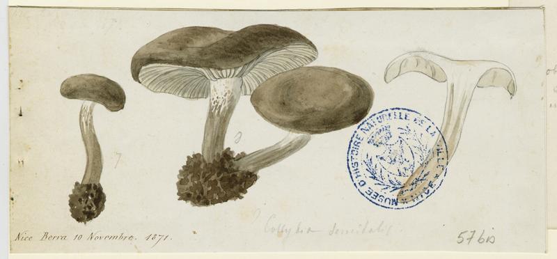 Tricholome salissant ; Tricholome des sentiers ; champignon