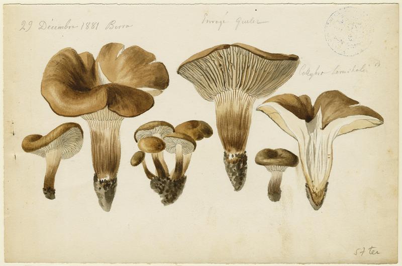 Tricholome salissant ; Tricholome des sentiers ; champignon_0