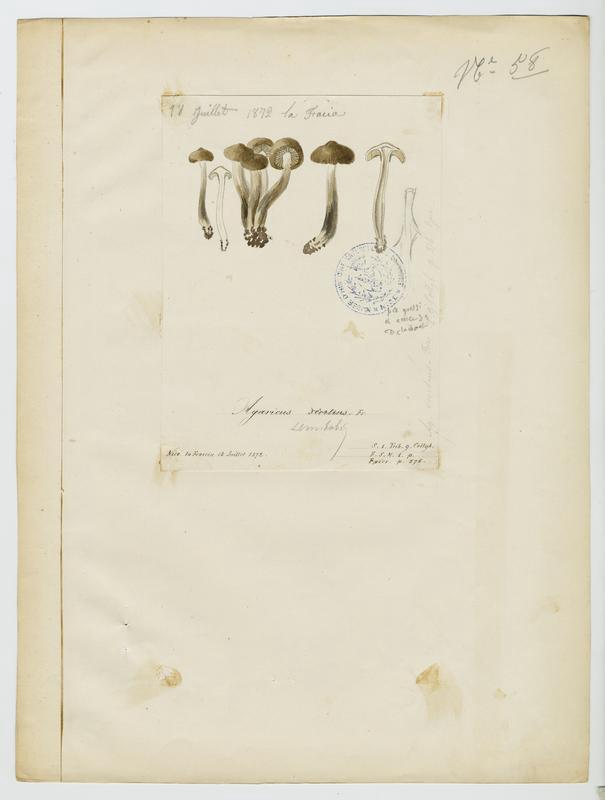 BARLA Jean-Baptiste (attribué à) : Tricholome salissant, Tricholome des sentiers, champignon